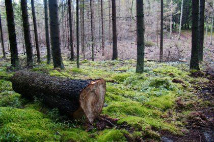 ścięte drzewo w puszczy